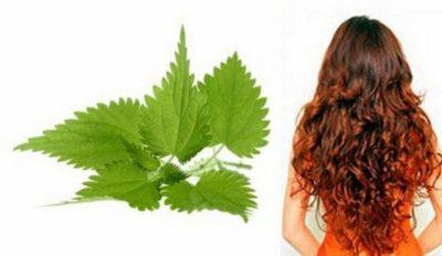 Крапива для волос: полезные свойства, рецепты отваров и масок