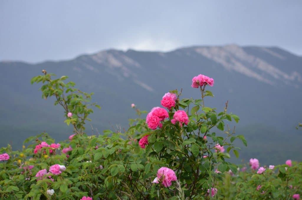 Родина розы - Китай