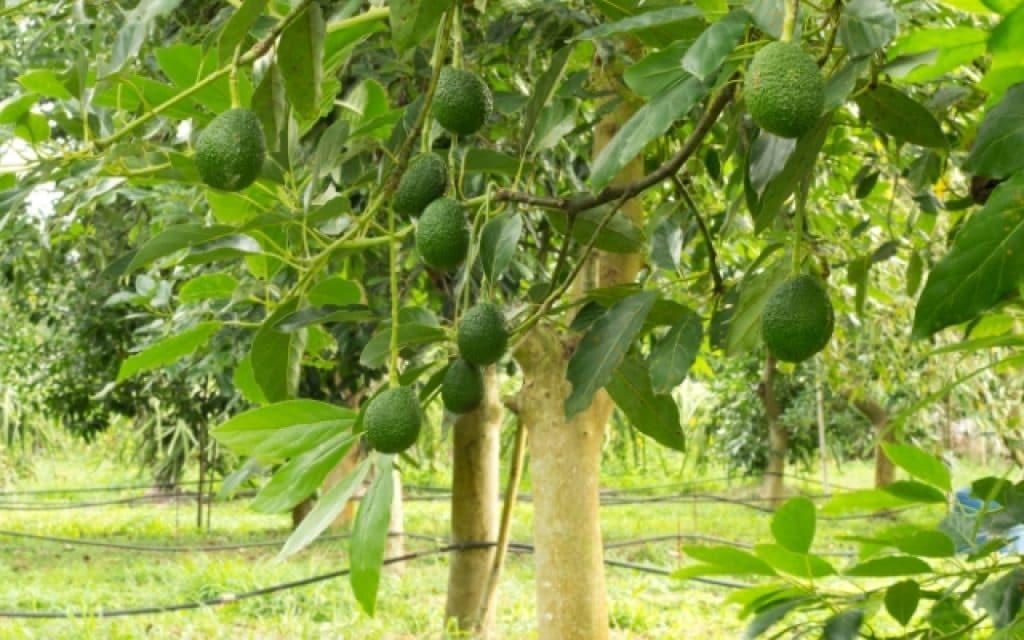 масло авокадо для лица польза