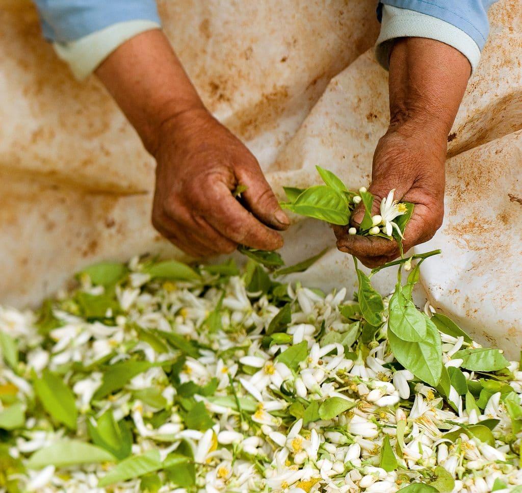 Получение масла нероли из цветов