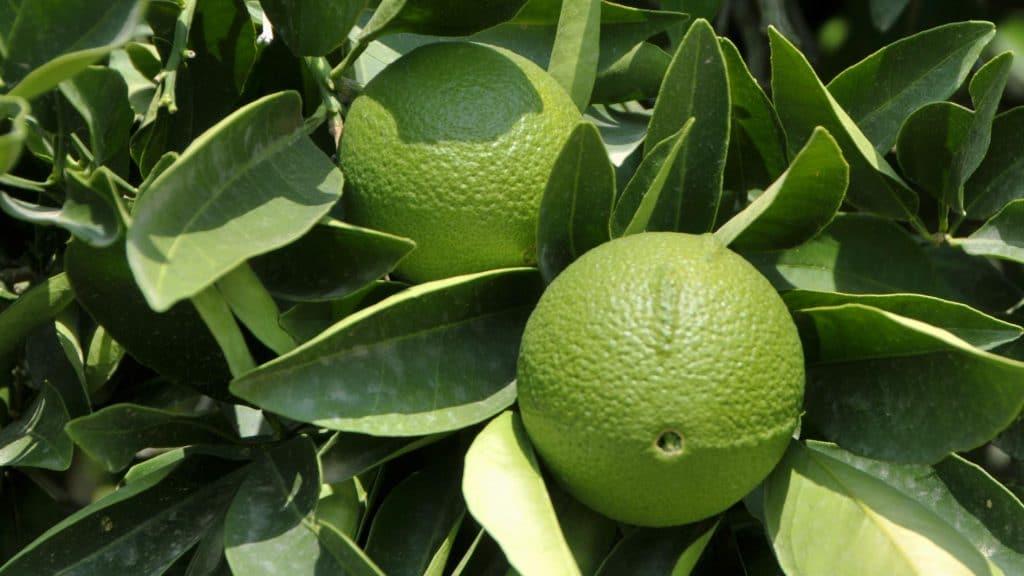 Листья и плоды бергамота