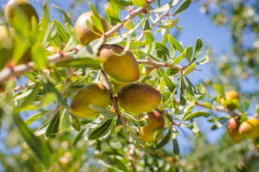 Плоды арганового дерева