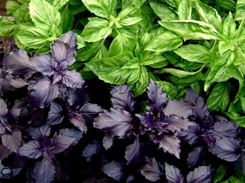Зелёный и фиолетовый виды базилика