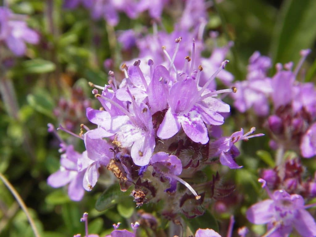 Цветы чебреца
