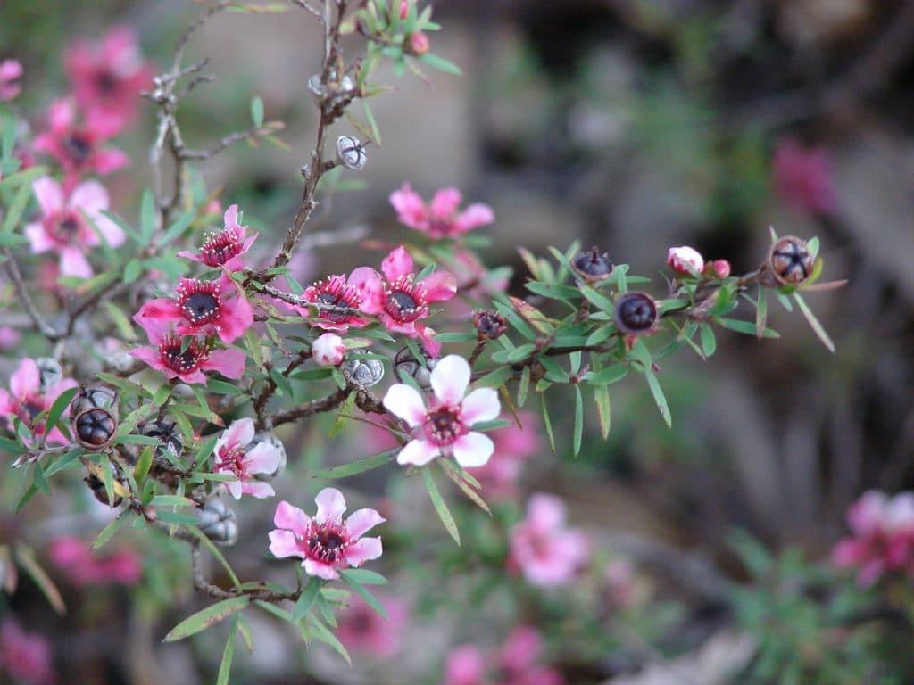 Цветы мануки